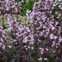 Load image into Gallery viewer, Penstemon digitalis 'Blackbeard'