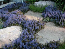 Load image into Gallery viewer, Ajuga reptans 'Chocolate Chip'