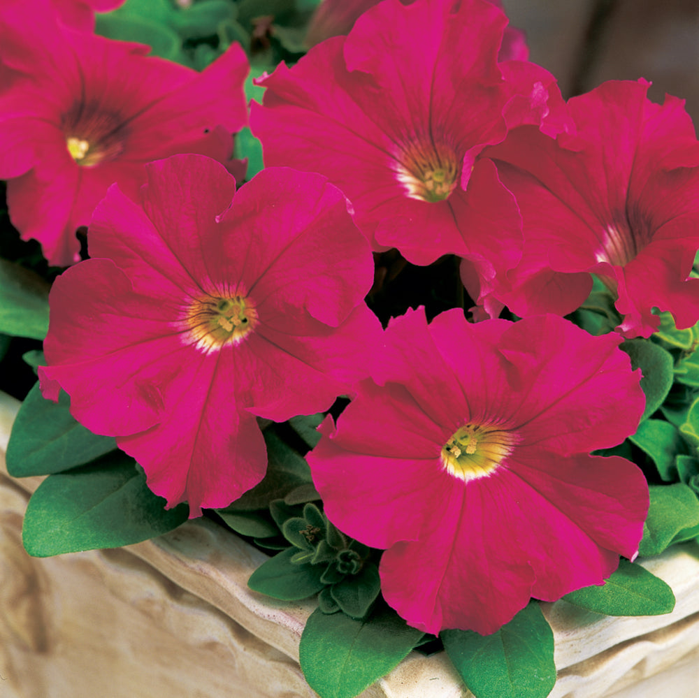 Petunia Success 360° Deep Rose