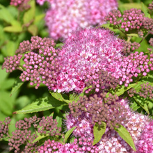 Load image into Gallery viewer, Spirea Gumball