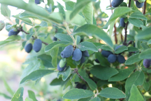 Load image into Gallery viewer, Berry Blue Honeyberry