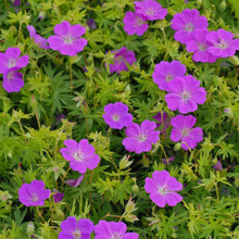 Load image into Gallery viewer, Geranium sanguineum 'New Hampshire Purple'
