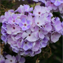 Load image into Gallery viewer, Phlox paniculata 'Flame Blue'