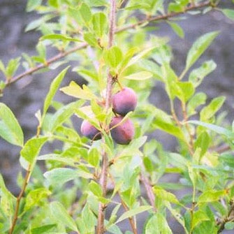 Sapalta Cherry-Plum