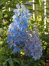 Load image into Gallery viewer, Delphinium 'Blue Lace'