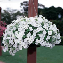 Load image into Gallery viewer, Petunia Easy Wave® White