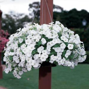 Petunia Easy Wave® White