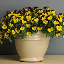 Load image into Gallery viewer, Pansy Cool Wave® Sunshine 'N Wine