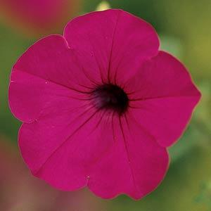 Petunia Tidal Wave® Purple