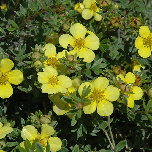 Potentilla Gold Star