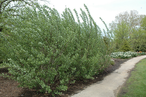 French Pussy Willow