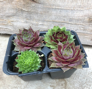 4-Pack Variety Succulents