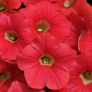 Petunia Shock Wave® Coral Crush