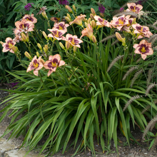 Load image into Gallery viewer, Hemerocallis 'Daring Deception'