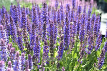 Load image into Gallery viewer, Salvia nemorosa 'Salute Deep Blue'