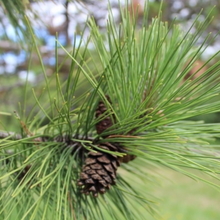 Load image into Gallery viewer, Red Pine