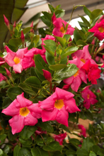 Load image into Gallery viewer, Pink Mandevilla - Small Leaf
