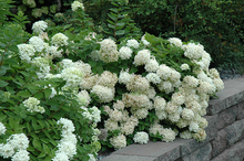 Load image into Gallery viewer, Hydrangea Pee Gee