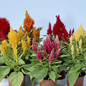 Celosia Ice Cream Mix
