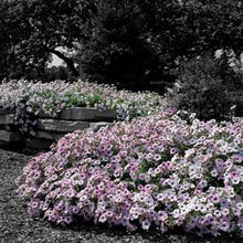 Load image into Gallery viewer, Petunia Tidal Wave® Silver