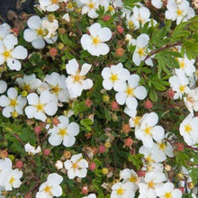 Load image into Gallery viewer, Potentilla Abbottswood