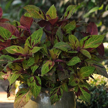 Load image into Gallery viewer, Coleus Mighty Mosaic