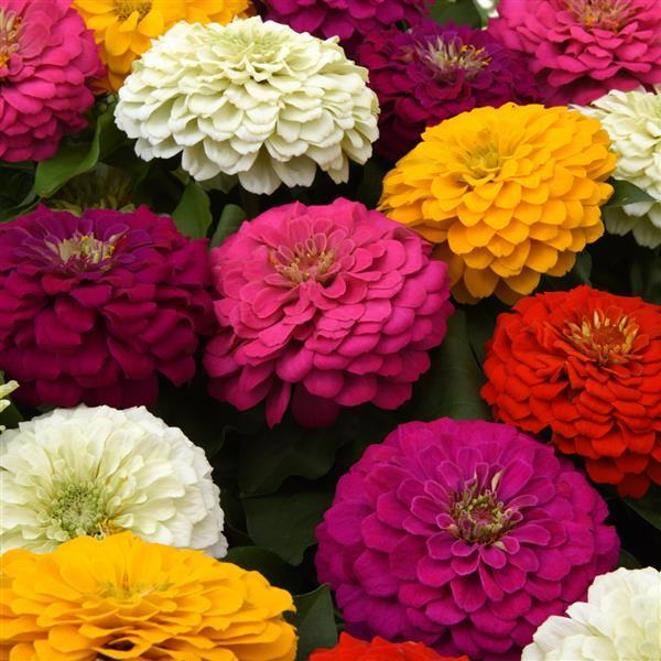 Zinnia - Zesty Mix