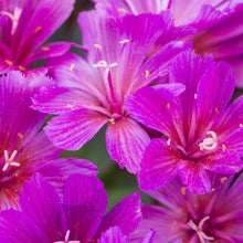 Load image into Gallery viewer, Lewisia longipetala x 'Little Raspberry'