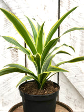 Load image into Gallery viewer, Dracaena Lemon Lime