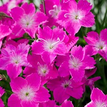 Load image into Gallery viewer, Dianthus 'Kahori Pink'