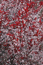 Load image into Gallery viewer, Purpleleaf Sandcherry