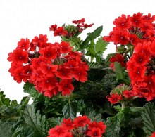 Load image into Gallery viewer, Verbena Vanessa Compact Red