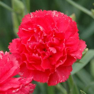 Carnation Can Can Rose