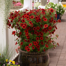 Load image into Gallery viewer, Petunia Tidal Wave® Red Velour