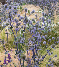 Load image into Gallery viewer, Eryngium planum 'Blue Glitter'