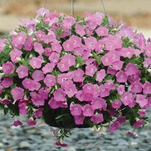 Load image into Gallery viewer, Petunia Shock Wave® Pink Shade