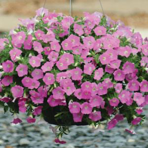 Petunia Shock Wave® Pink Shade
