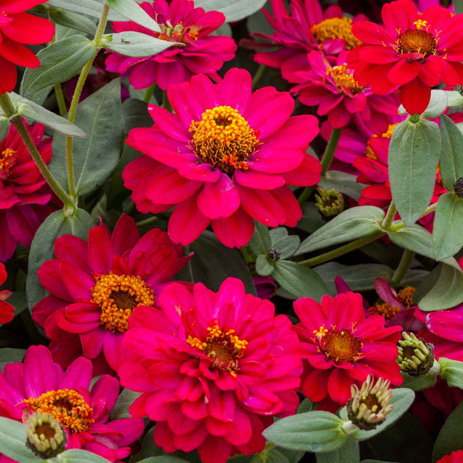 Zinnia - Profusion Double Hot Cherry
