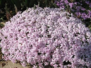 Phlox subulata 'Candy Stripes'