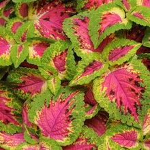 Load image into Gallery viewer, Coleus Watermelon
