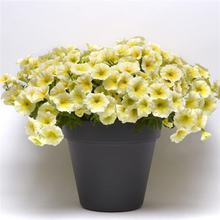 Load image into Gallery viewer, Petunia Easy Wave® Yellow