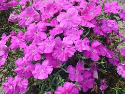 Dianthus Diana Blueberry