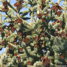 Load image into Gallery viewer, Black Hills Spruce