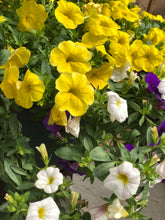 Load image into Gallery viewer, Calibrachoa Bright Mix