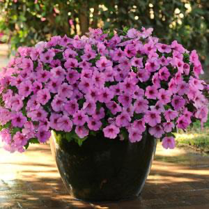 Petunia Easy Wave® Pink Passion