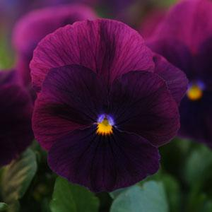 Pansy Cool Wave® Purple