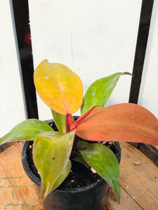 Philodendron McColley Finale