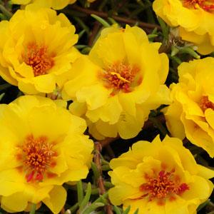 Portulaca - Happy Trails™ Yellow
