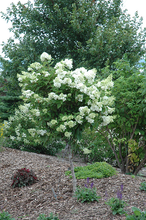 Load image into Gallery viewer, Pink Diamond Hydrangea (tree form)