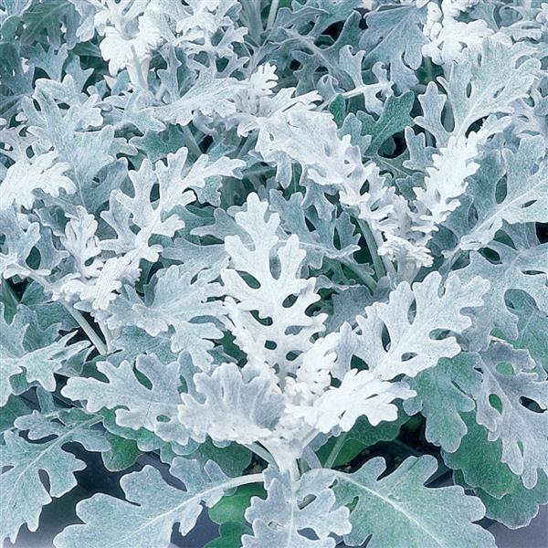 Dusty Miller Candicans